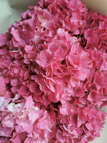 Hydrangea Dark Pink